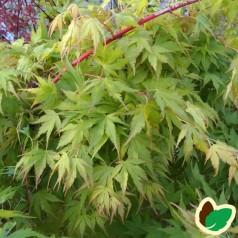 Acer palmatum Sango Kaku / Japansk Løn / Japansk Ahorn