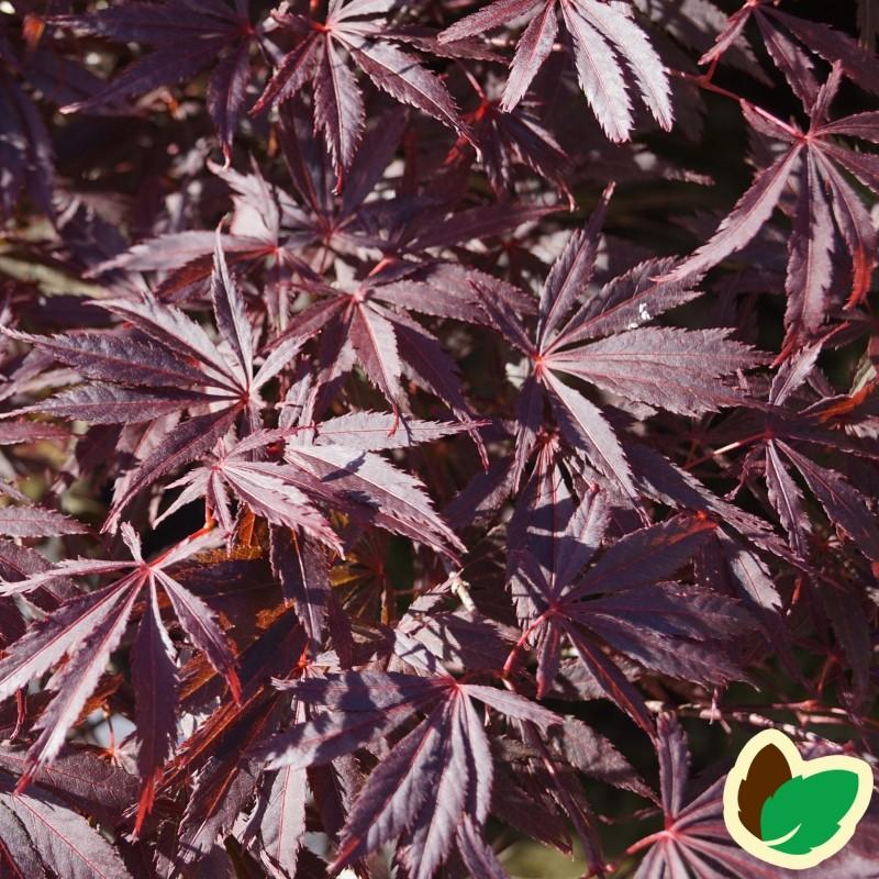 Acer palmatum Sherwood Flame / Japansk Løn / Japansk Ahorn