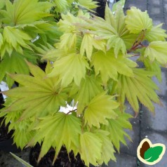 Acer shirasawanum Aureum / Japansk Ahorn