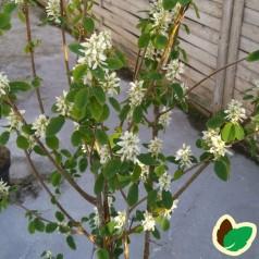 Amelanchier alnifolia Obelisk - Bærmispel