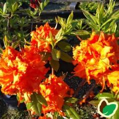 Rhododendron knaphill Gibraltar - Haveazalea