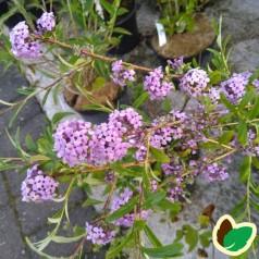 Buddleja alternifolia / Sommerfuglebusk