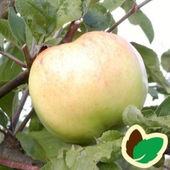 Æbletræ Bøghs Citronæble