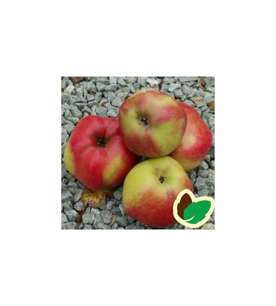 Æbletræ Cox Pomona