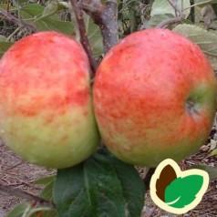 Æbletræ Eva-Lotta