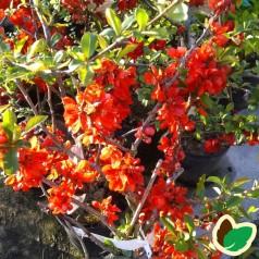 Chaenomeles japonica Sargentii - Japansk Kvæde