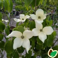 Cornus kousa China Girl / Koreakornel - Blomsterkornel