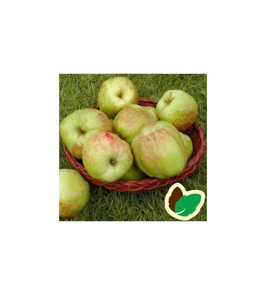 Æbletræ Gul Gråsten