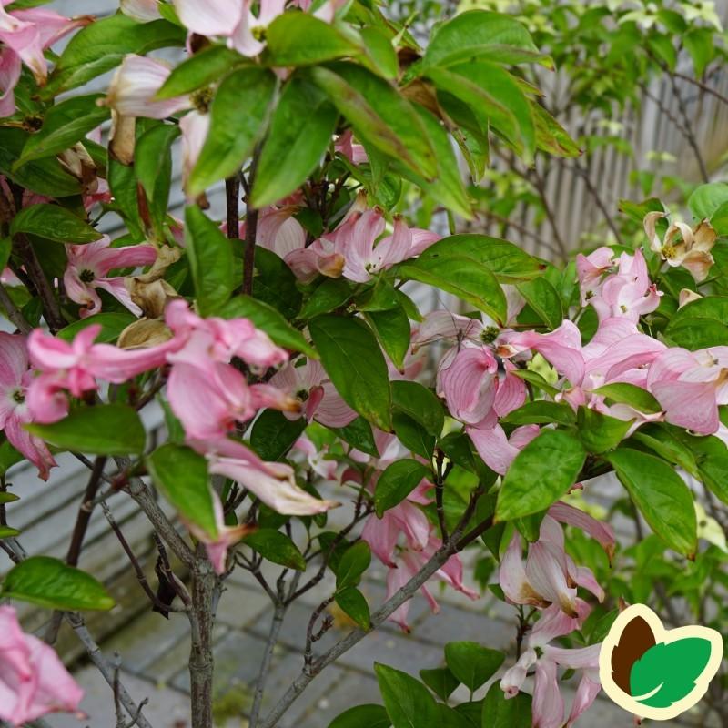 Cornus florida Rubra / Blomsterkornel
