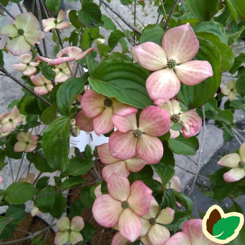 Cornus kousa Satomi / Blomsterkornel