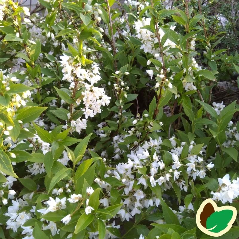 Deutzia gracilis - Lille Stjernetop