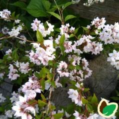 Deutzia kalmiflora / Stjernetop