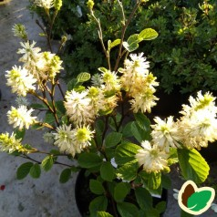 Fothergilla Major / Troldel