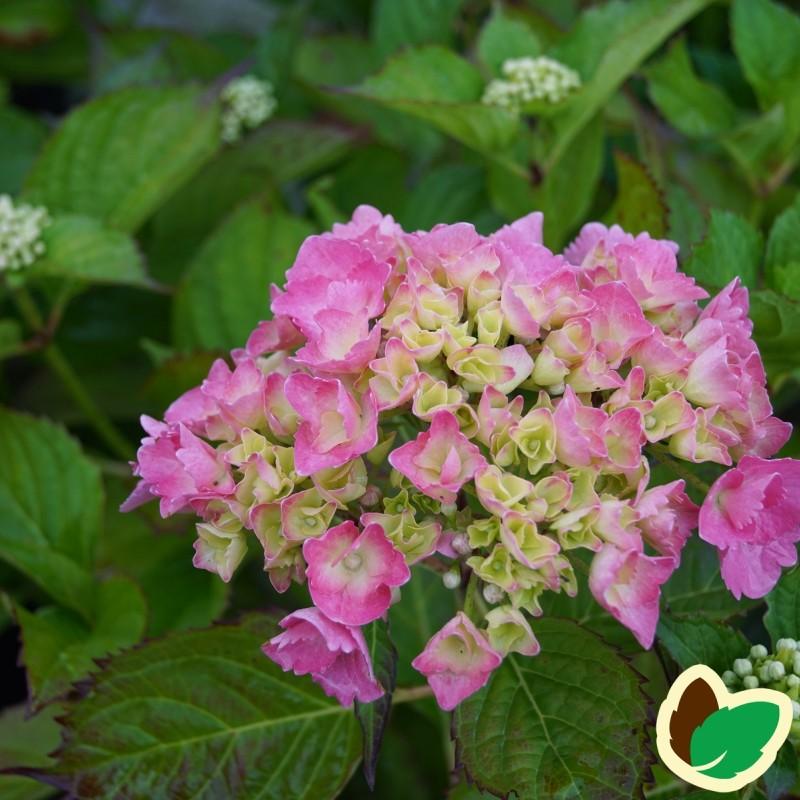 Hydrangea macrophylla Dorthea - Hortensia