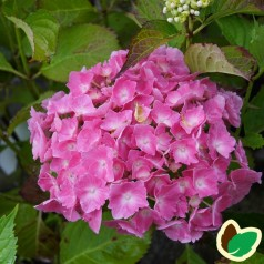 Hydrangea macrophylla Skibelund Shiny Choiz - Hortensia