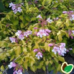 Kolkwitzia amabilis Maradco - Dronningebusk
