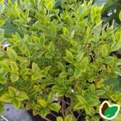 Ligustrum ovalifolium Aureum - Gulbroget Liguster
