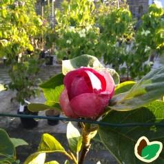 Magnolia soulangeana Black Tulip / Magnolia