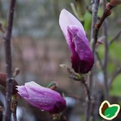 Magnolia liliiflora Jane - Magnolia