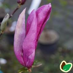 Magnolia liliiflora Ricki - Magnolia