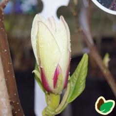 Magnolia Sunrise - Magnolia