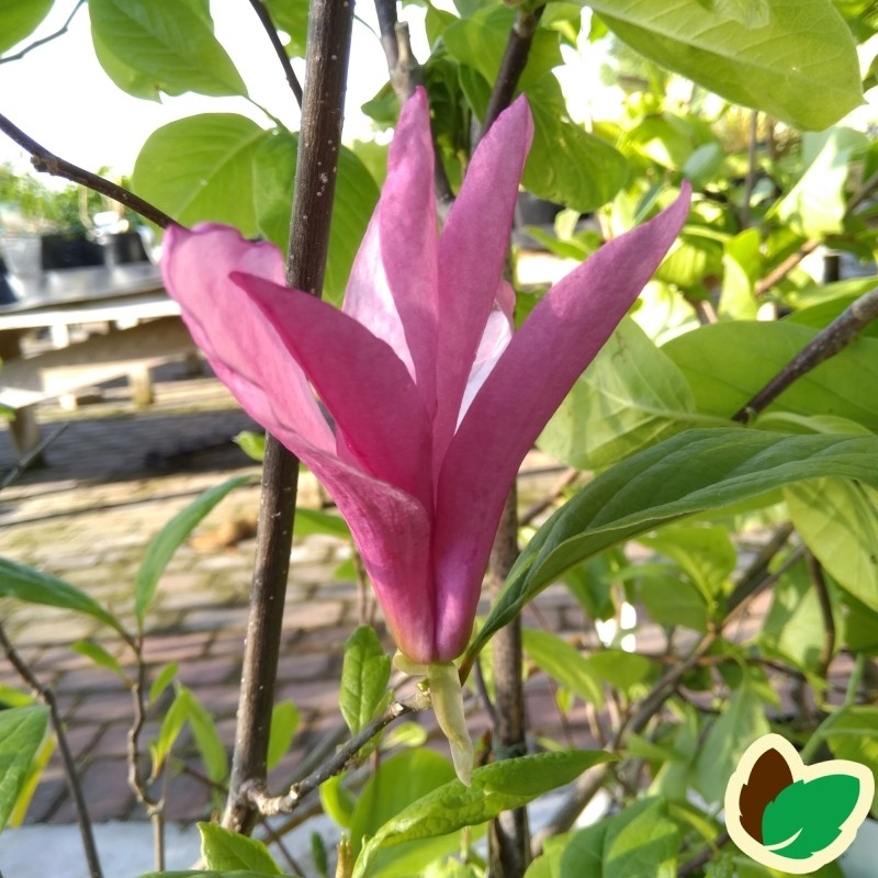 Magnolia liliiflora Susan - Magnolia / 125-150 cm.