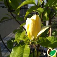 Magnolia acuminata Yellow Bird / Magnolia 175 cm.
