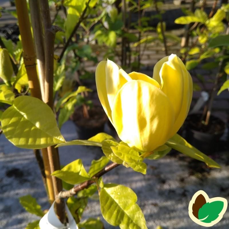 Magnolia Yellow River - Magnolia