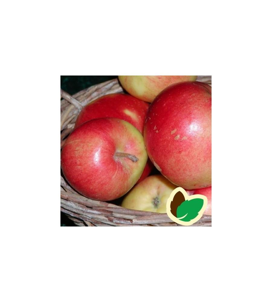 Æbletræ Katja Balsgård