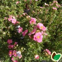 Potentilla fruticosa Pink Paradise - Buskpotentil