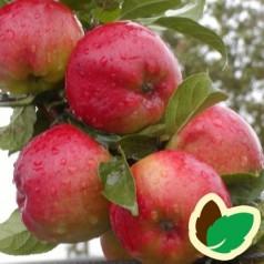 Æbletræ Prima