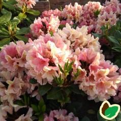 Rhododendron hybrid Brasilia