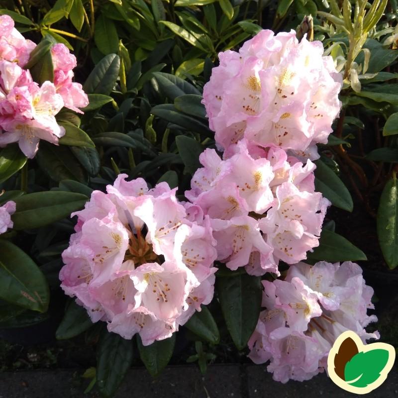Rhododendron hybrid Brigitte Insigne