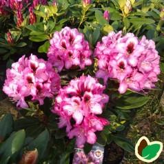 Rhododendron hybrid Kokardia