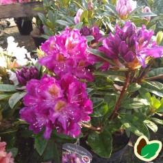 Rhododendron hybrid Tamarindos