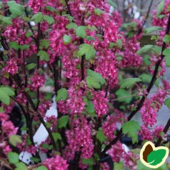 Blodribs Koja 30-50 cm. - 10 stk. barrodsplanter - Ribes sanguineum Koja _