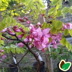 Robinia hispida - Rosenakacie
