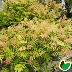 Tusindtop Sem 30-50 cm. - 10 stk. barrodsplanter - Sorbaria sorbifolia Sem _