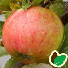 Æbletræ Topaz