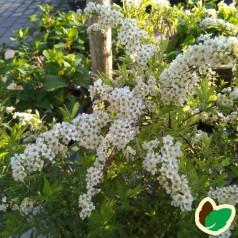 Snedrivebusk 30-50 cm. - Bundt med 10 stk. barrodsplanter - Spiraea cinerea Grefsheim