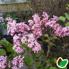 Syringa meyeri Flowerfesta Pink - Dværgsyren Lyserød