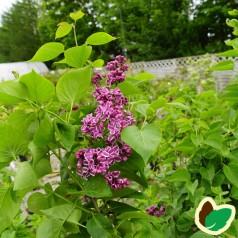 Syringa vulgaris Sensation - Storblomstret Syren