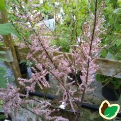 Tamarix parviflora - Tamarisk