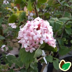 Viburnum carlesii Aurora - Duft Snebolle
