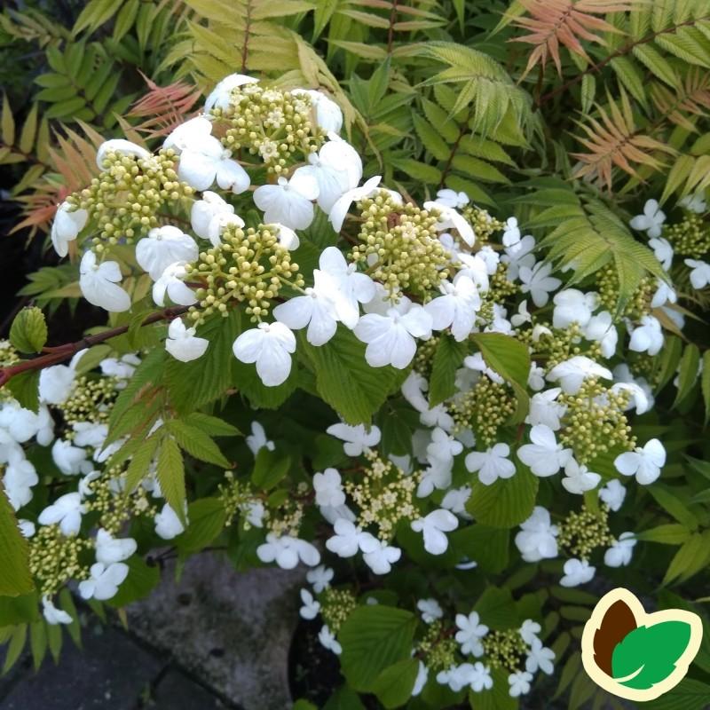 Viburnum plicatum Mariesii - Japansk snebolle
