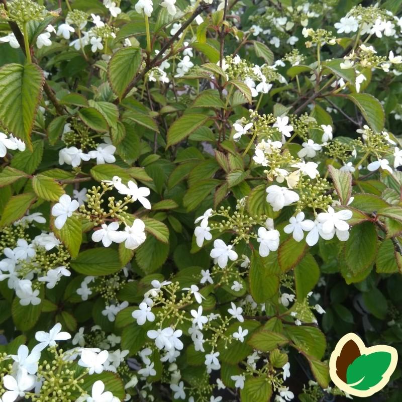 Viburnum Plicatum Watanabe Japansk Snebolle
