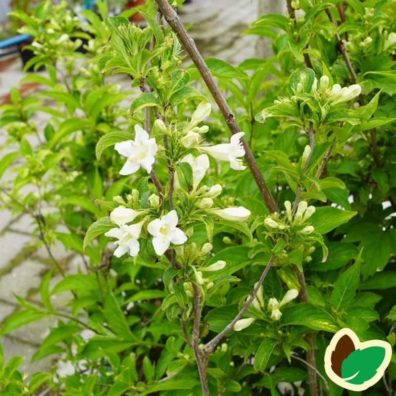 Weigela florida Candida - Klokkebusk