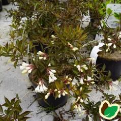 Weigela florida Black and White - Klokkebusk