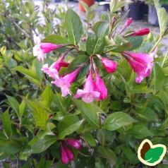 Weigela florida Minuet - Klokkebusk