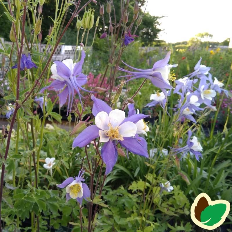 Aquilegia caerulea Blue Star / Akeleje